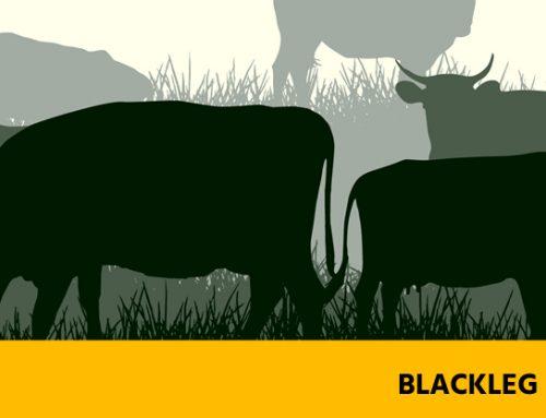 Blackleg Disease – Preventable Diseases of Cattle