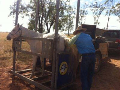 "Dr Bruce Howlett scanning a mare at ""Wieta"" Middlemount. Our mobile horse stocks mean we can safely perform reproductive scans on property."