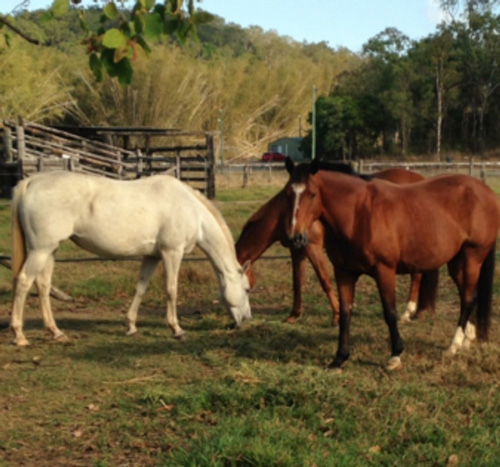 Brood mares at Leilavale