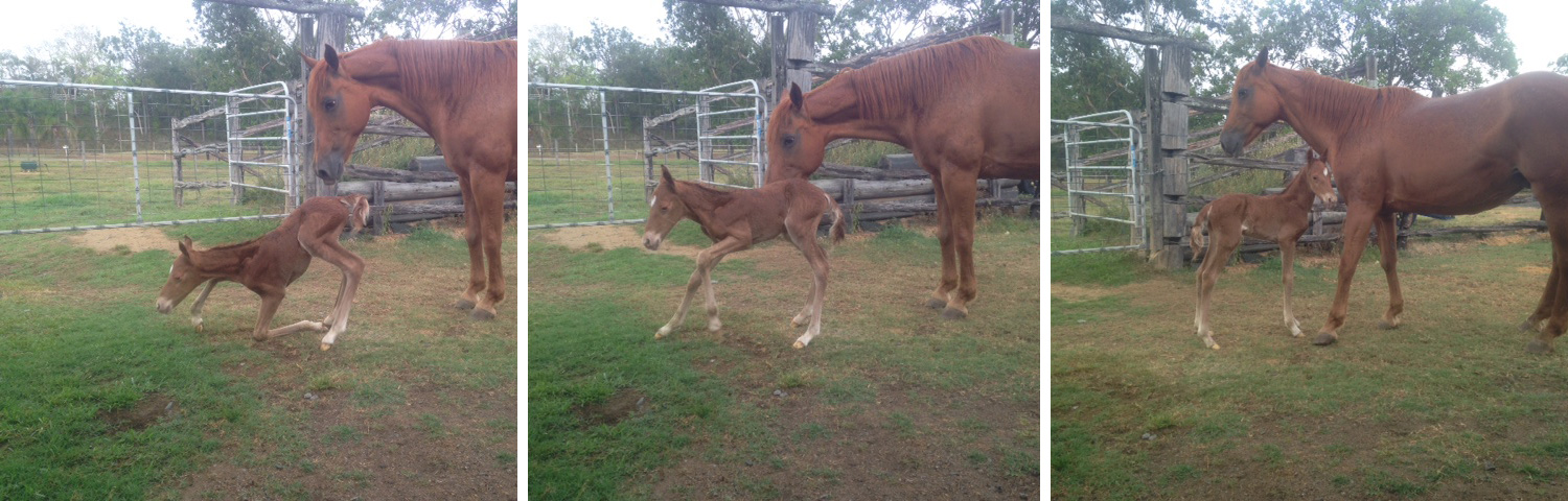 "First steps for an ""Epic"" foal out of ""Playgirl"""