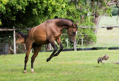 """Young colt in the stallion enclosure at """"Leilavale"""""""